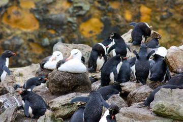 Albatros couvent au milieu des manchots