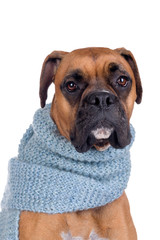 boxer dog with scarf