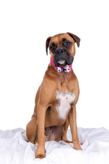 boxer dog with pink head band and bow