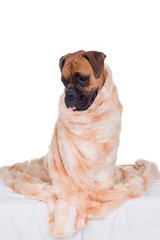 boxer dog with fur blanket