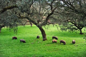 Piara de cerdos ibéricos en la dehesa, producto español