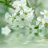 Cherry flowers - 74832117