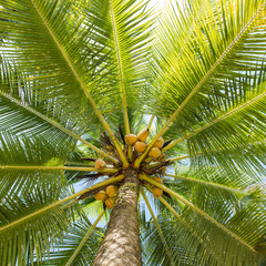 Low angle view coconut palm tree