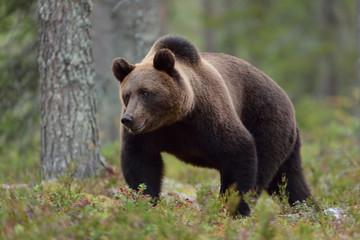Bear walking in forest