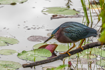 Little Green Heron