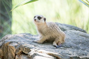 Meerkat on the stone