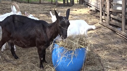 Goats on the farm eating hay.