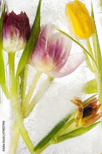 canvas print picture Tulpen - tiefgekühlt
