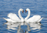 Fototapety pair of white swans
