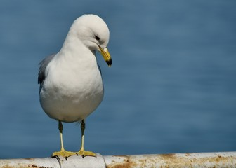 Ring-billed Seagull Perched