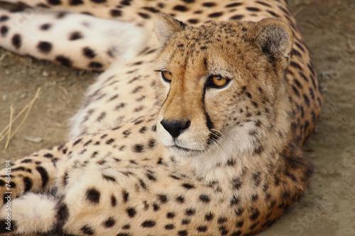 Papiers peints Hyène cheetah