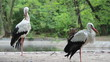 The white storks - Ciconia ciconia