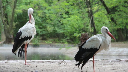 The white storks - Ciconia ciconia