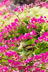 Pink flower Coral Vine