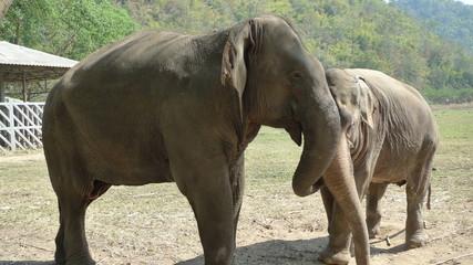 Eléphants Asie blessés