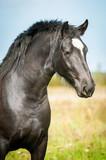 Portrait of beautiful black horse