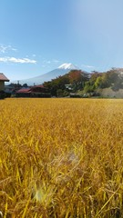 Brown rice field with mt.fuji background