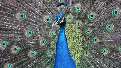 The peacock's tail show