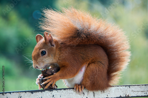Eurasian red squirrel-Sciurus vulgaris