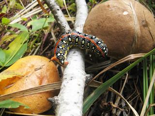 caterpillar,mushroom