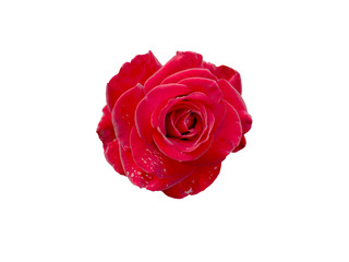 Red Rose with drops of dew isolated on white background