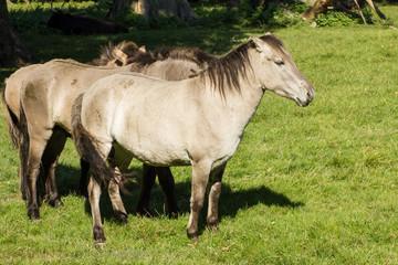 Das Tarpan-Pferd