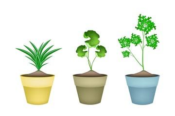 Three Fresh Herbal Plant in Ceramic Flower Pots