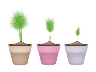 Fresh Green Dill in Ceramic Flower Pots