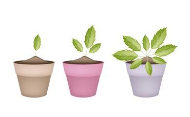 Fresh Paracress Plants in Ceramic Flower Pots