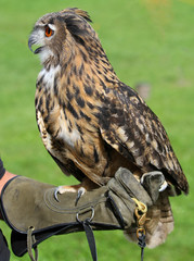 Falconer with the OWL training glove
