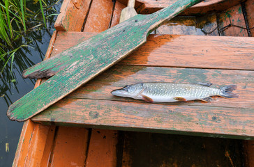 Caught pike lies in a fishing boat