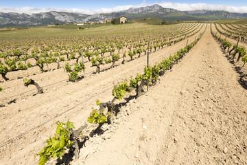 Viñedos con el pueblo de Páganos, Rioja Alavesa (España)
