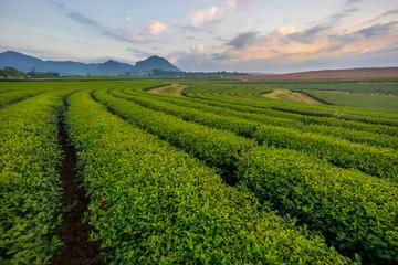 Tea field in the morning