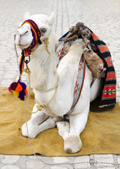 Camel as turist attraction