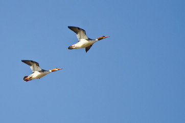 Two Female Common Mergansers Flying Over the Marsh
