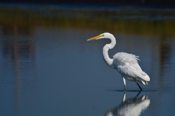Great Egret Hunting for Fish