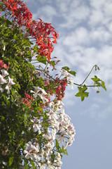 red and white pelargonium