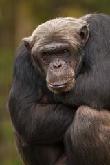 Chimpansee kijkt naar jouw.