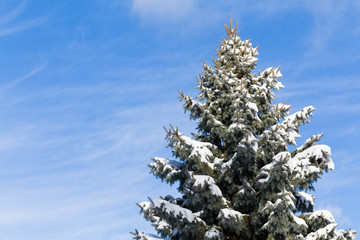 Canadian Tree in the Winter