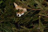 Fuchs im Dickicht