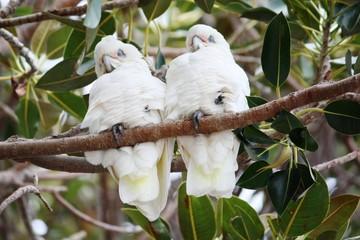 Kakadusa - Nacktaugenkakadus in Busselton - Australien