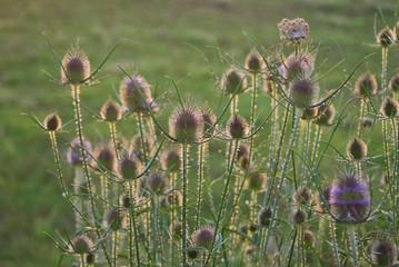 cardo dei lanaioli (Dipsacus fullonum)