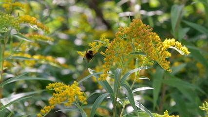 goldenrod, Bumblebee