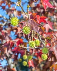 Green sweetgum tree seed pods hanging on tree,leafy background