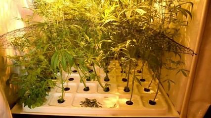 Cannabis sativa indoor