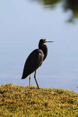Great blue heron birdg