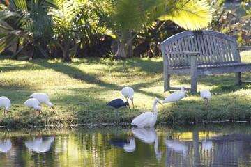 White herons at Fairchild gardens