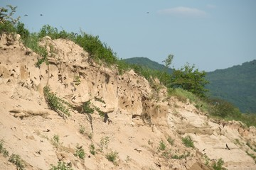 The nests of swallows in sand quarry