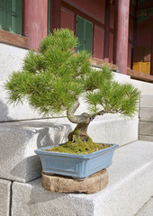 Bonsai tree in container on steps