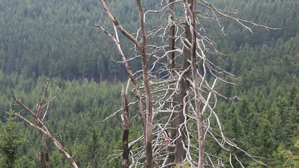 Dead trees caused by the co2 and so2 emission. Acid rains.